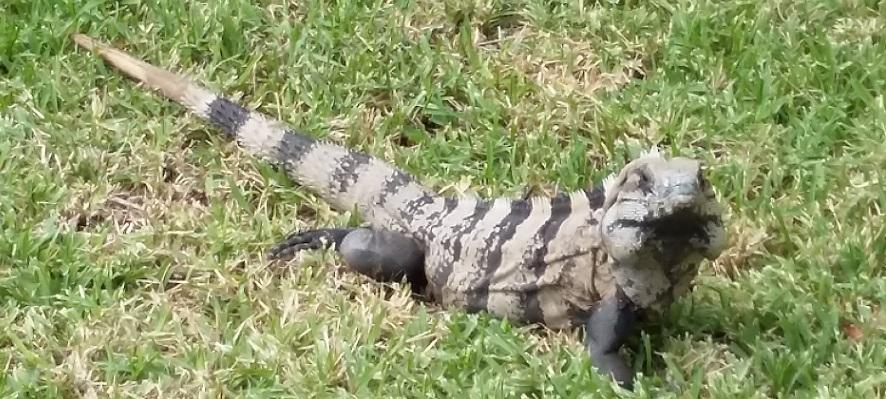 Reflexiones entre iguanas